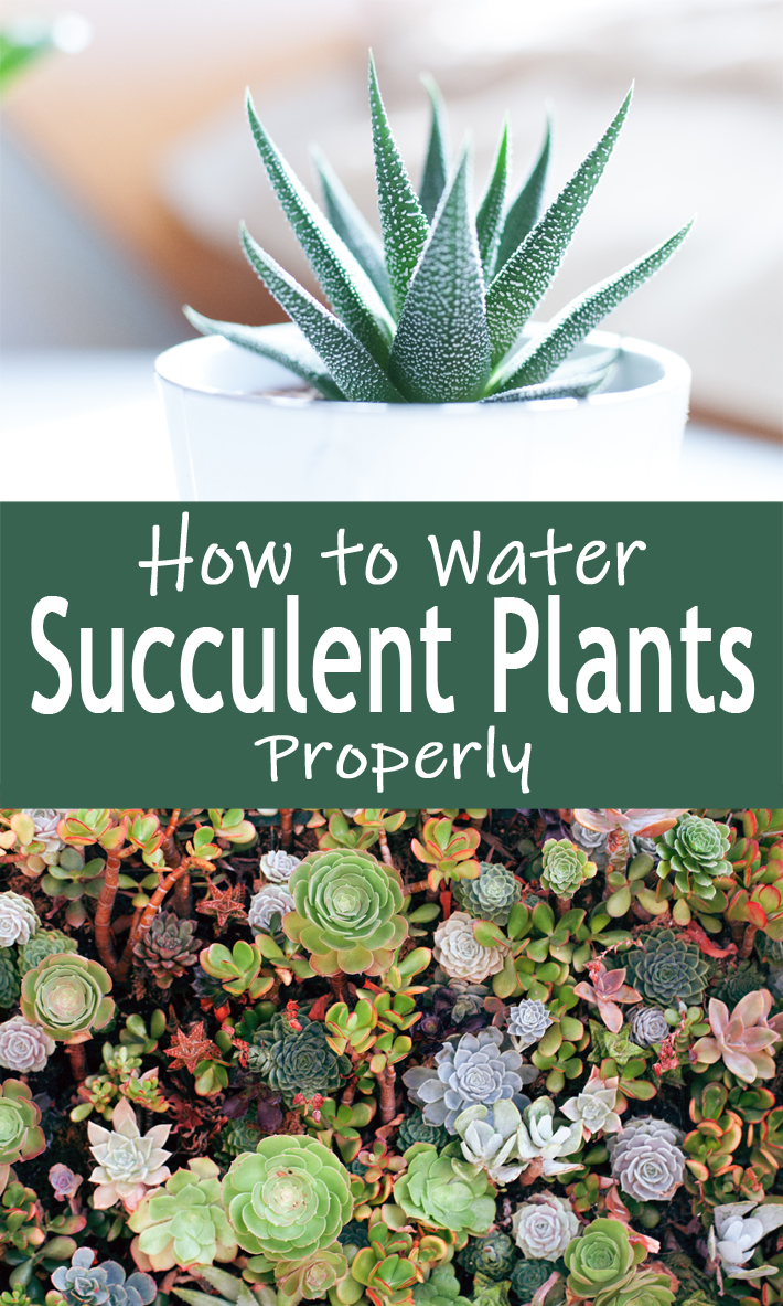 How to Water Succulent Plants Properly