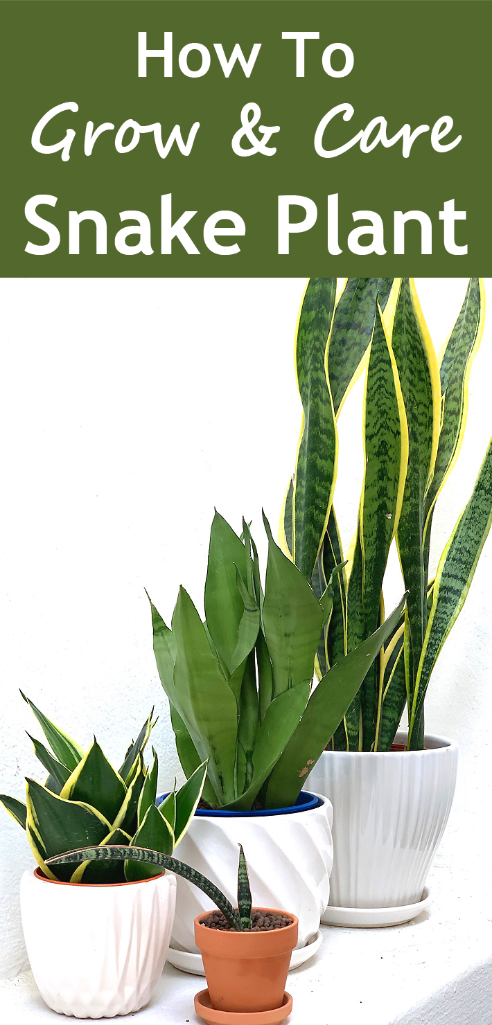 How To Grow And Care For Snake Plant - Know 2 How