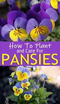 How To Plant And Care For Pansies