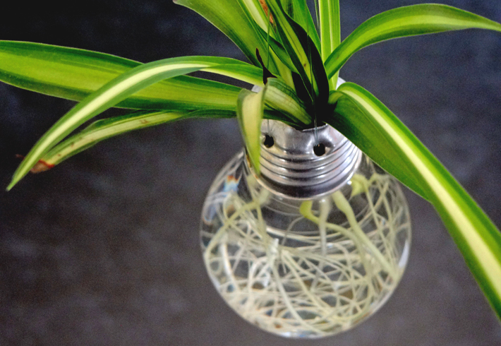 How To Grow Spider Plant
