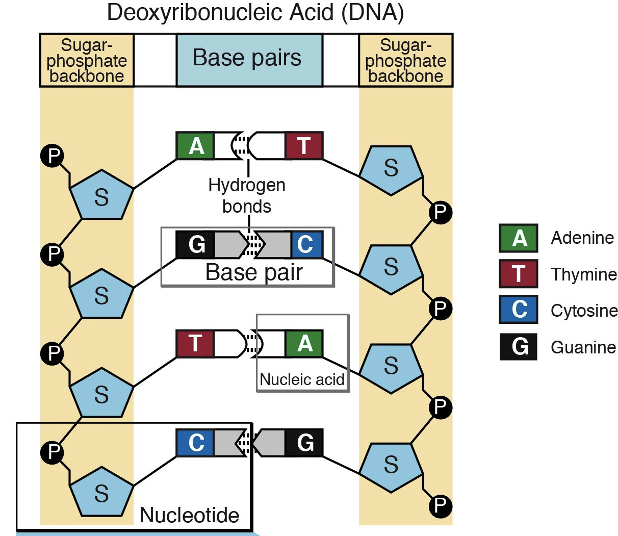 Nucleotides And Bases