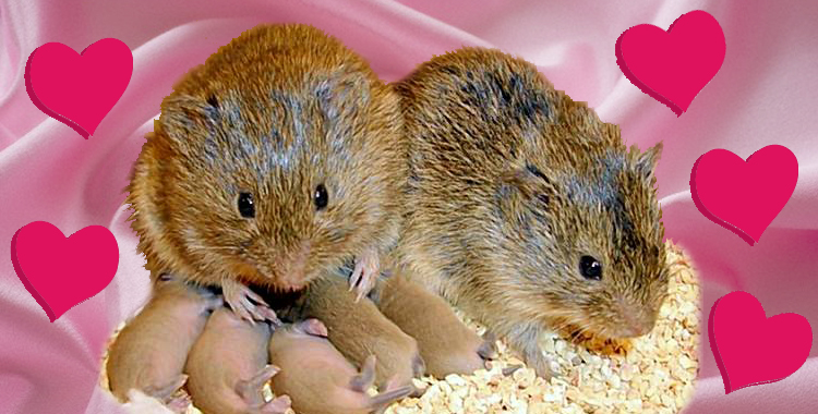 Why Prairie Voles Fall in Love: A Chemical Romance