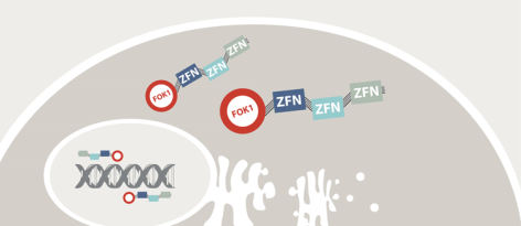 Zinc finger nucleases: genomic scissors via Knowing Neurons