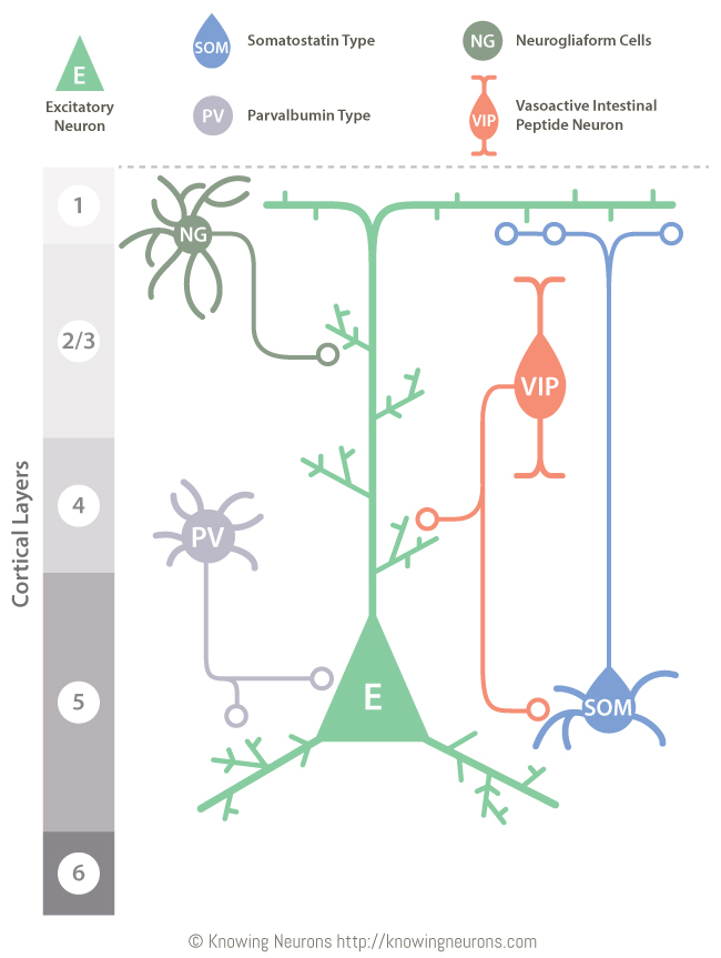 Interneurons by Knowing Neurons