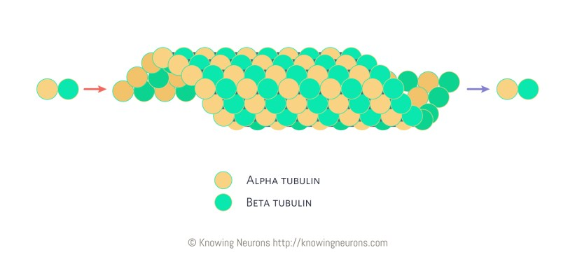 Microtubule_Knowing-Neurons