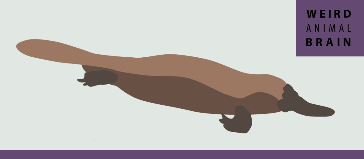Weird Animal Brain: Platypus