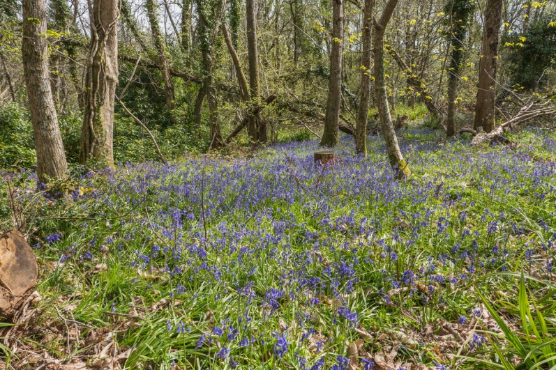 Bluebells in chestnut woods