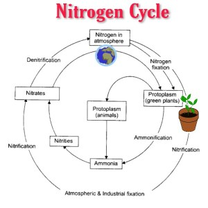 How is the nitrogen cycle important to humans