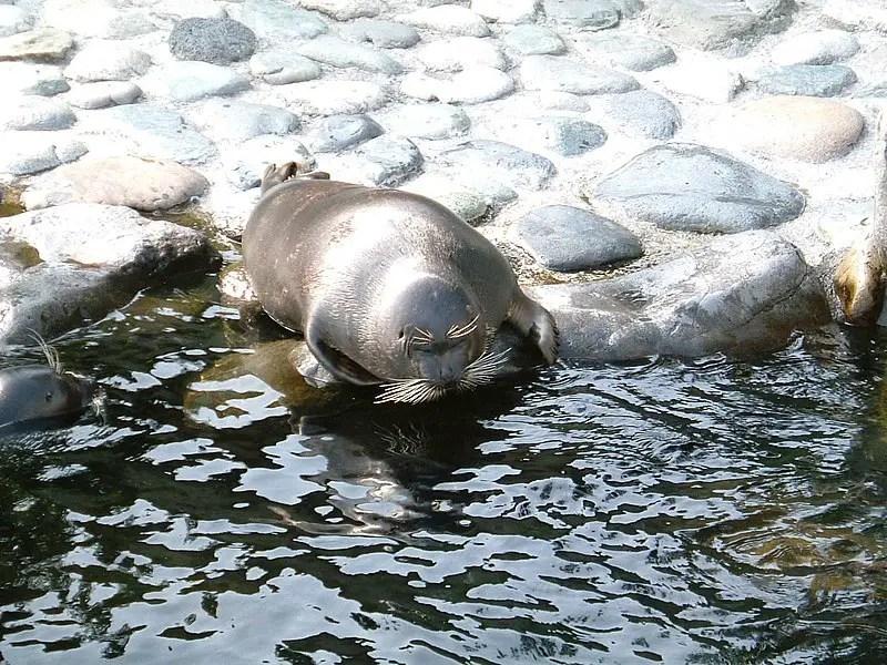 nerpa seal on the shore lake baikal russia