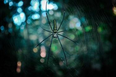 蜘蛛の種類の中で黄色と黒の体を持つ蜘蛛の特徴について解説