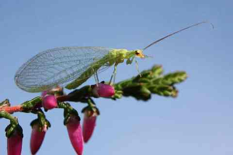 Lacewing: get rid of aphids with lacewings