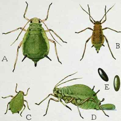 Life cycle of an aphid