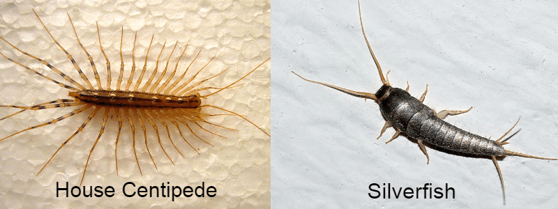 house centipede-vs-silverfish