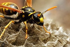 Wasps - Knox Pest Control