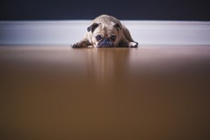 Dog lying with chin on ground looking at camera