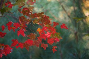 maple leaves, fall, autumn