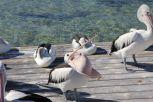Die widerlichen Pelikane vor der Fütterung. Die Verbiegen sich so komisch wenn sie Hunger haben