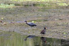 Vögel inkl. Alligator