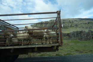 Lämmer werden zu ihrem Bestimmungsort - nämlich der Metzgerei - gebracht. Wir realisieren, dass Lammfleisch nicht wirklich von alten ausgedienten Schafen kommen kann und Sarah überlegt sich Vegetarierin zu werden. Schafe sind in ganz Island überall vorhanden - könnte fast schon Neuseeland sein. Die Viecher halten den Rasen schon immer sehr schön in Schuss