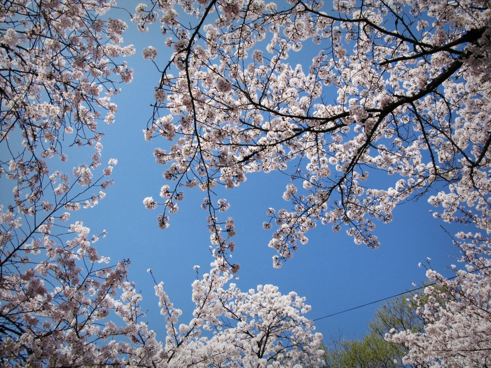 My 1-day cherry blossom viewing plan in Kyoto…