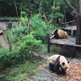 Chengdu Giant Panda Research Base Giant Panda 1