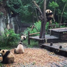 Chengdu Giant Panda Research Base Giant Panda 2