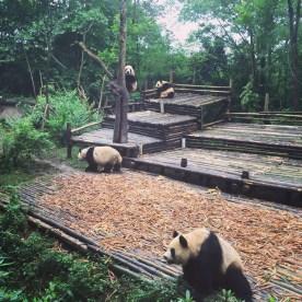 Chengdu Giant Panda Research Base Giant Panda 3
