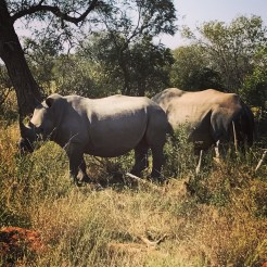 South Africa, Kruger - Safari Rhinoceros