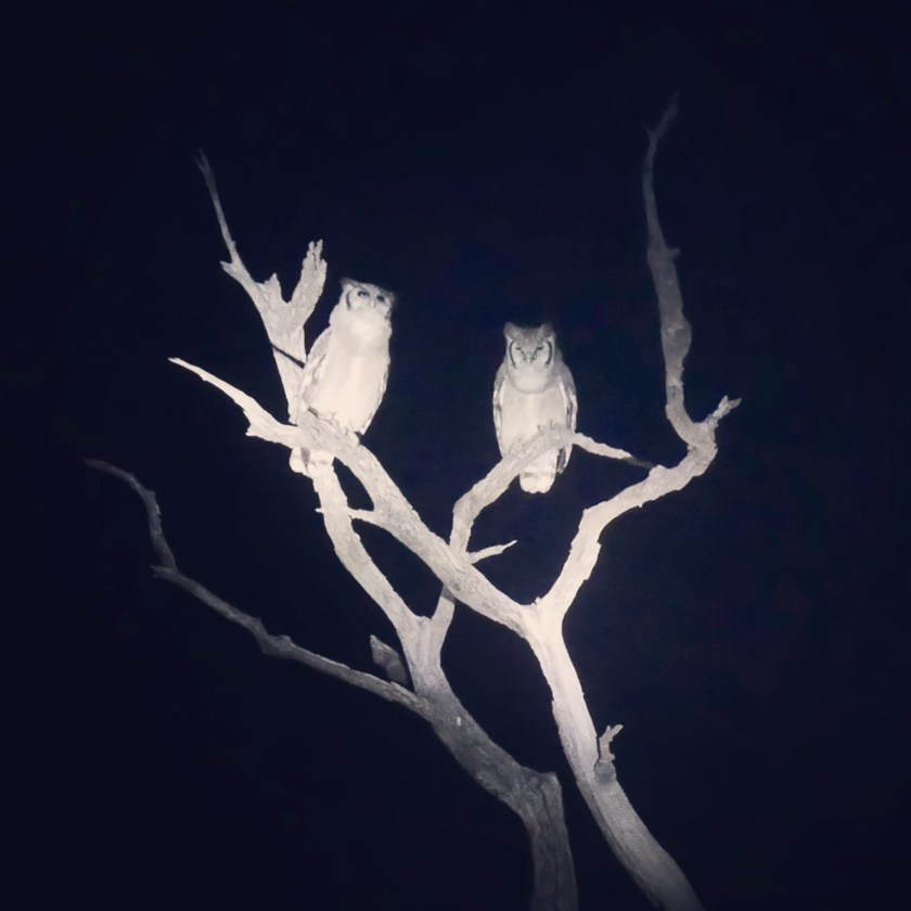 South Africa, Kruger - Safari Owl
