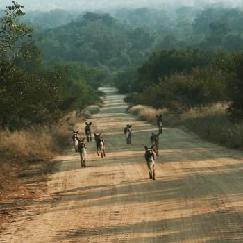 South Africa, Kruger - Safari Wild Dogs (2)