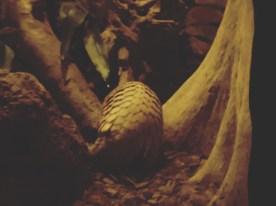 Ngiht Safari 8 - Pangolin
