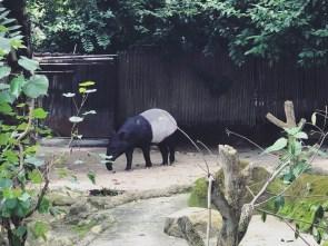 Singapore Zoo 1 - Tapir