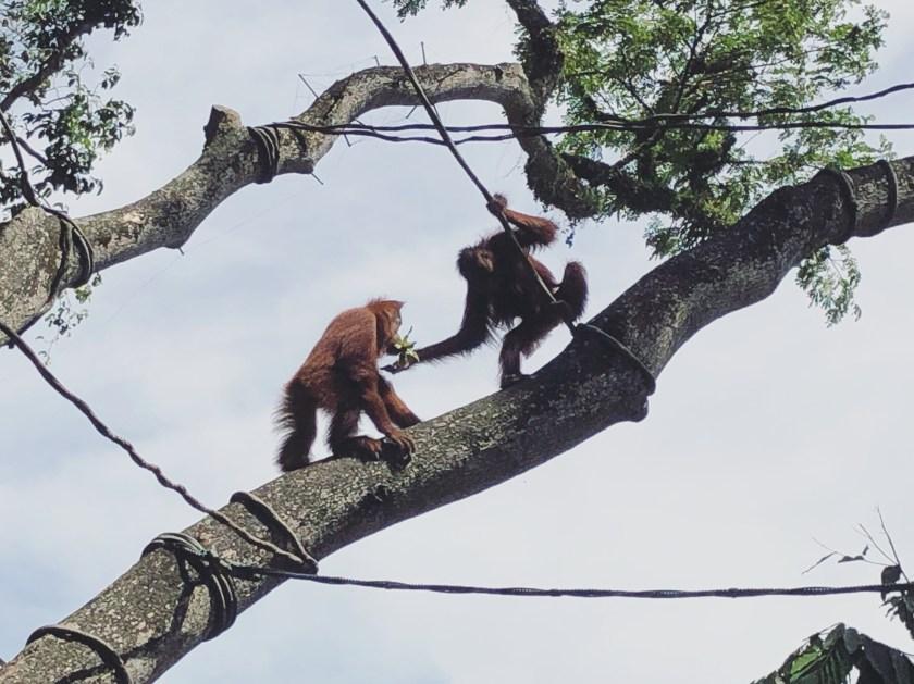 Singapore Zoo 2 - Orangutan