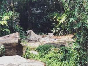 Singapore Zoo 4 - White Tiger