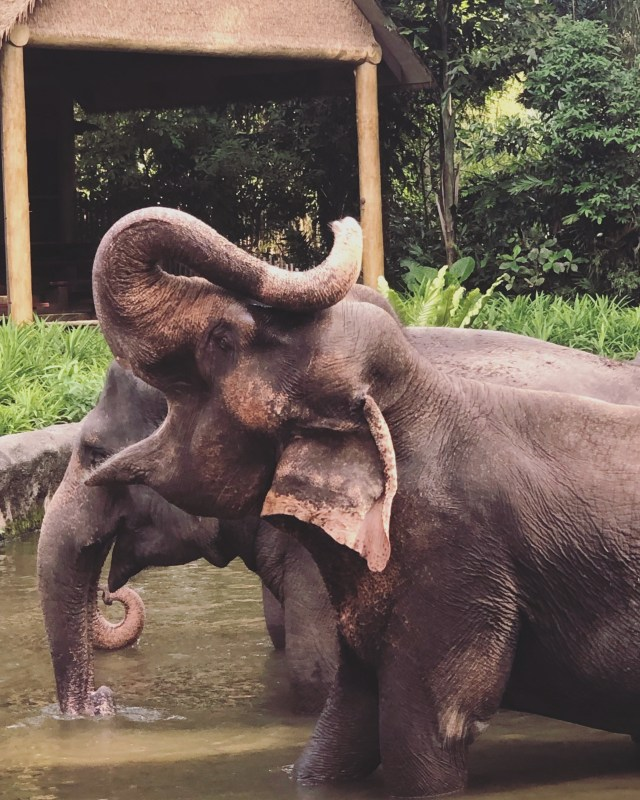 Singapore Zoo 8 - Elephant