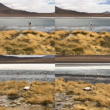 1 The Chilean, Andean, and James's Flamingo 2