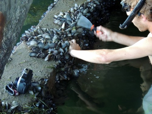 Mediterranean mussel (Mytilus galloprovincialis)