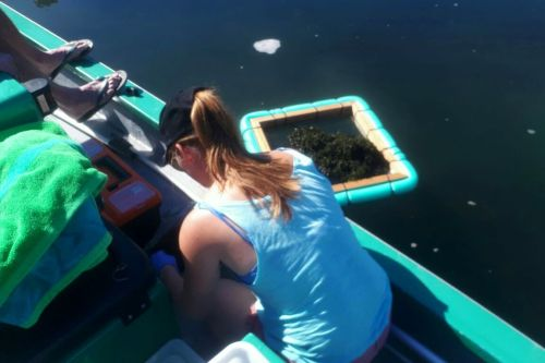 Sampling for seahorses within dense Codium beds
