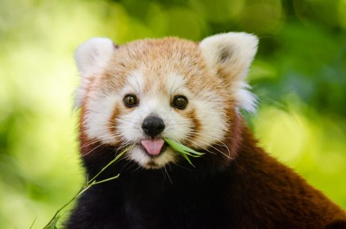 red_panda
