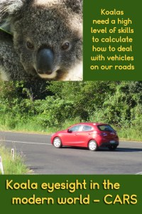 Koalas need to do fast calculations when going near our roads, as they try adapt to the modern world.