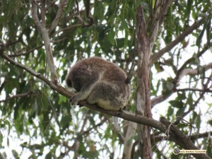The only safe place for the koala is high in a tree as we see Enigma in this image.