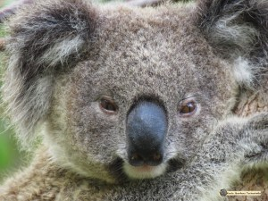 Enigma shows us a perfect example of the forward facing eyes of a koala. Koala eyesight however is not very good over long distances.