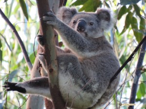 Bullet has seen me approaching and looking at him so is now watching me. Bullet is a wild male koala.