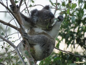 A wild male koala chooses what leaves are chemically ok to digest.