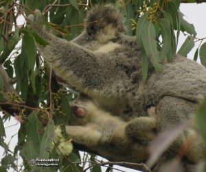 Joey is learning from mum what good leaf smells like as they eat together. Wild koalas in forest red gum tree.