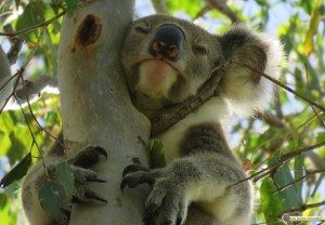 Male wild koala asleep in a forest red gum tree after feeding