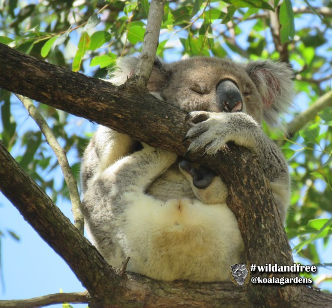 male koala at Tucki bora ring in the wild