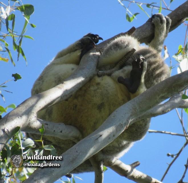 Koala mum and joey