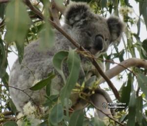 Stella is a female wild koala that lives in the forest red gum bush at Koala Gardens
