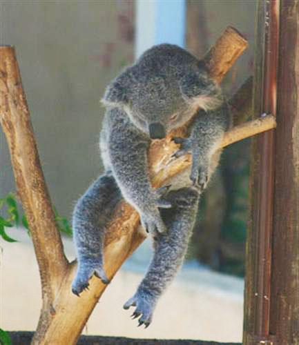 Image result for koalas sleep